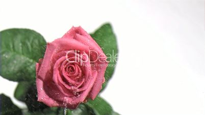 Pink rose in super slow motion being watered