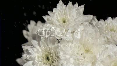White chrysanthemums in super slow motion being watered