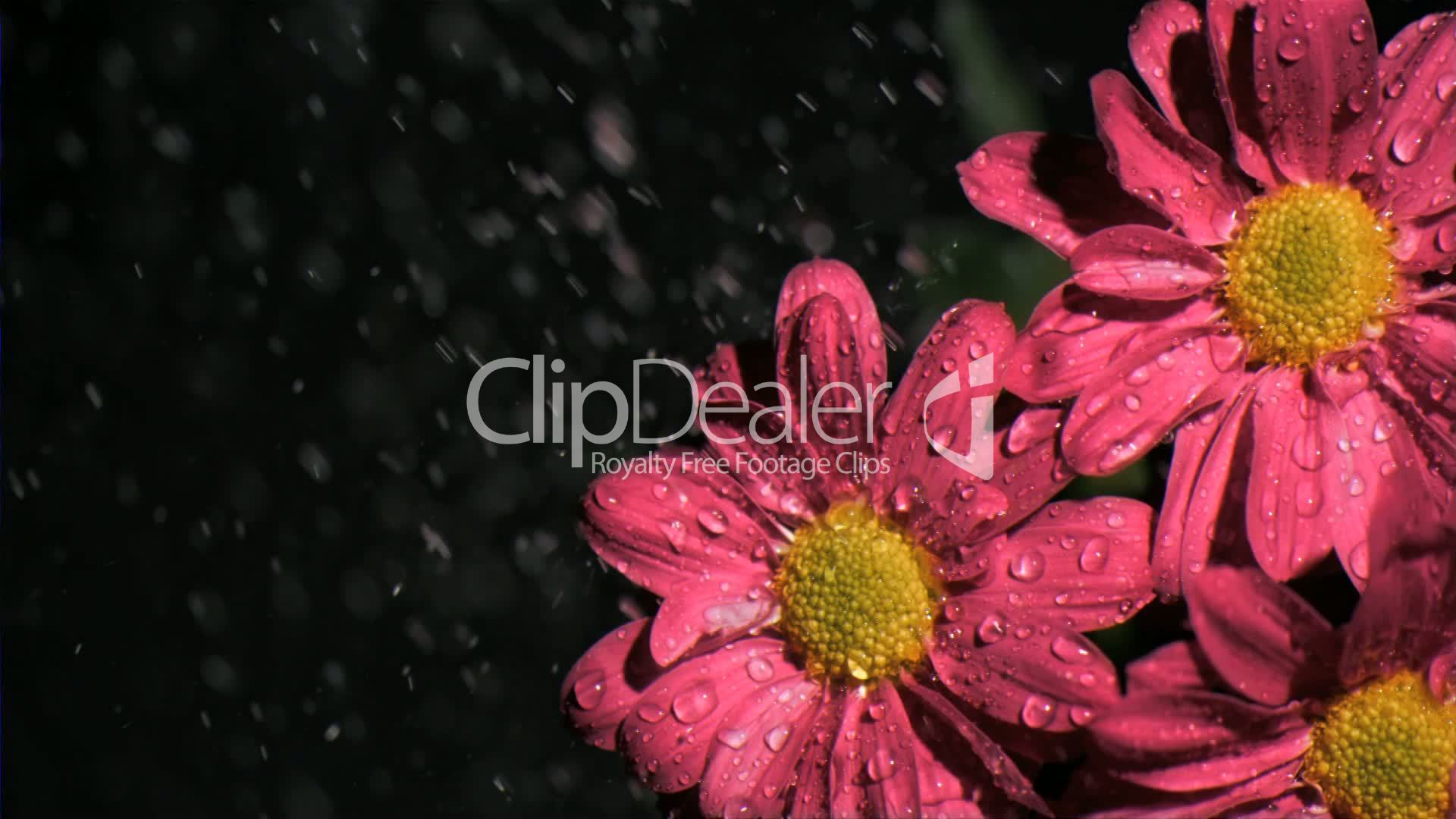 Beautiful Flowers In Super Slow Motion Being Watered Royalty Free