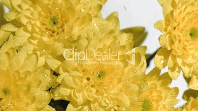 Yellow flowers in super slow motion receiving water