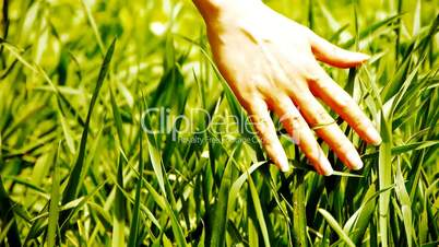 Lush weeds in wind,grassland,Wheat seedling,barley,wild-herbs,vegetables.