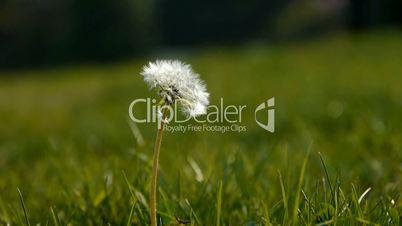 Beautiful dandelion.