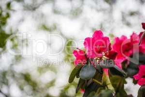 "Roter Rhododendron ""Nova Zembla""."