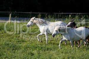 Camargue-Pferde beim Morgenlauf