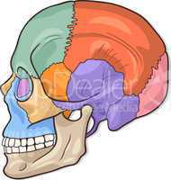 Human Skull Diagram Illustration