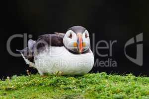 Puffin resting on Skomer Island, Wales