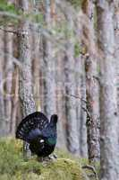 Capercaillie adult male displaying