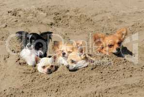 chihuahuas in the sand