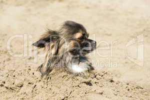 chihuahua in the sand