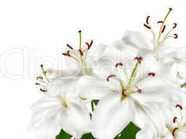 Weiße Lilien mit Textfreiraum
