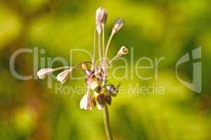 Berg-Lauch, Allium montanum