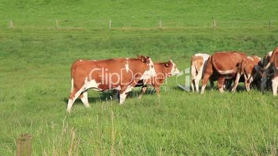 Gruppe von Kühen wedeln mit dem Schwanz
