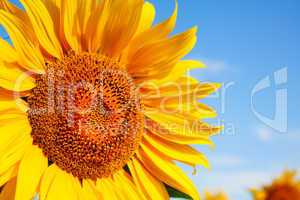Sunflower head's close up against blue sky