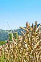 Weizen mit Silo im Hintergrund