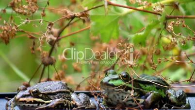 Frogs - two - croak