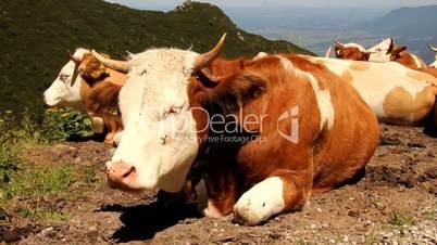 Kühe auf dem Herzogstand am Walchensee