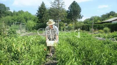 farmer harvesting chillis