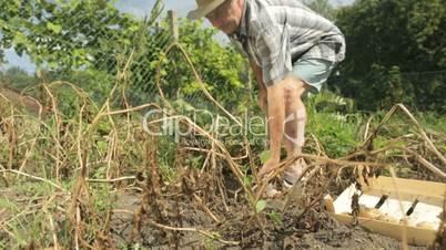 senior farmer harvesting potatoes with hayfork