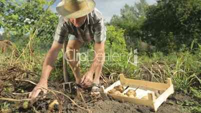 senior farmer harvesting potatoes
