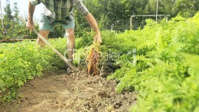 senior farmer harvesting carrots