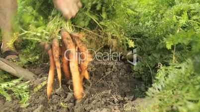 senior farmer harvesting carrots closeup