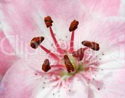 Pink Lily 2