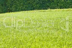 Energiepflanze Stumpfblütige Quecke