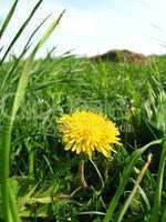 Unique yellow flower of dandelion
