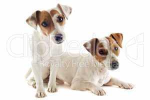 two jack russel terrier