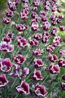 La Mancha tulips