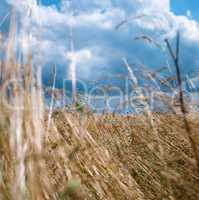 Landscape of field with cereal plants and moody cloudscape