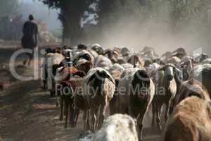 Shepherd with flock of sheep
