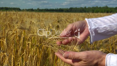 10712 woman hands control wheat
