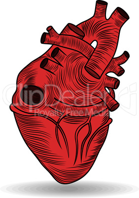Heart human body anatomy red sketch