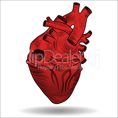 Heart human body anatomy