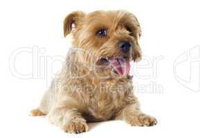 yorkshire terrier sheared