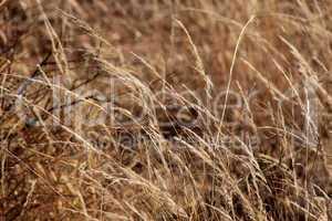 Bushveld Grass