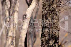 Bushveld Tree Trunks