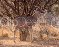 Alert Kudu Ewe Under Bushveld Tree