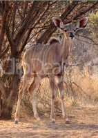 Alert Young Kudu Ewe Under Bushveld Tree