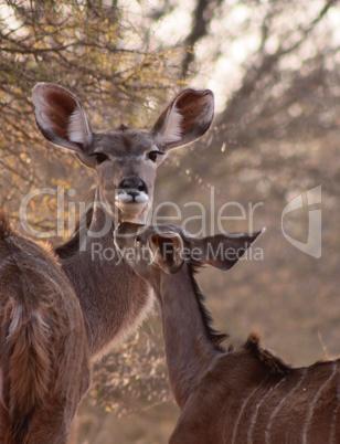 Rare Tender Moment Kudu Ewe and Foal