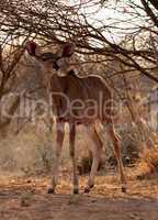 Young Kudu Ewe Foal Under Bushveld Tree