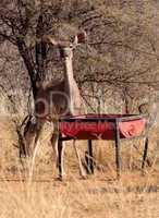 Kudu Ewe at Feeding Pit