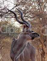 Kudu Looking Sideways