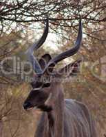 Kudu Under Bushveld Thorn Tree
