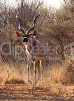 Slender Trophy Kudu Bull
