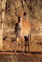 Young Alert Female Njala