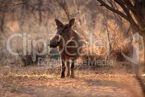 Large Alert Warthogs Male Under Tree