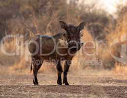 Large Alert Warthogs Male in Clearing