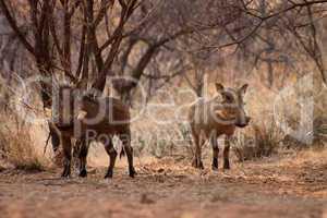 Alert Warthogs Lookout Under Bushveld Trees